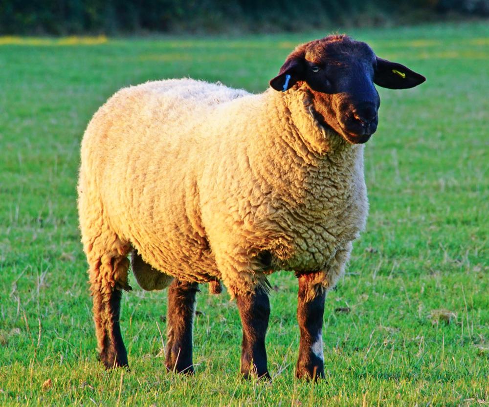 Ram Big Horn >> Riverhall Livestock - Our Pure Bred Suffolk Sheep
